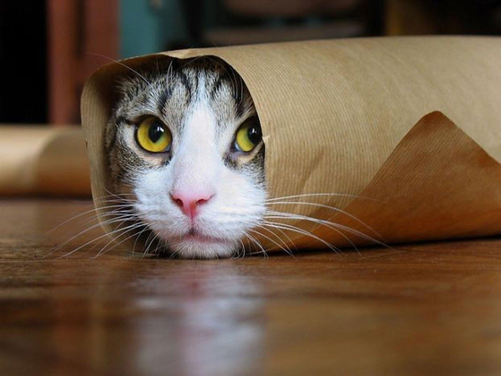 گربه خراشی