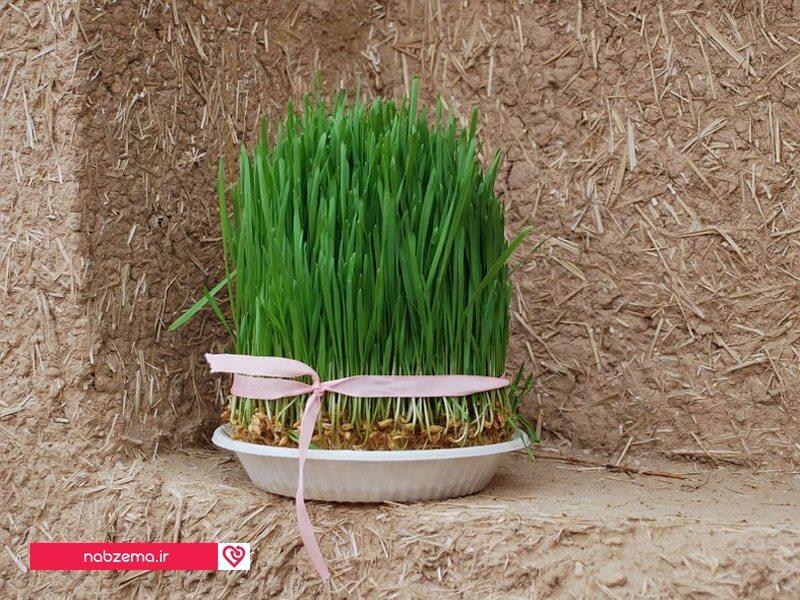 انواع بذر هفت سین روش هایی برای سبز کردن سبزه نوروزی - نبض ما