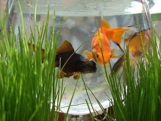 ماهی هفت سین