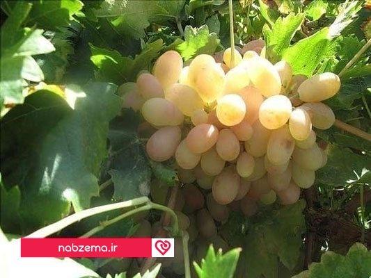 انگور دم خروسی