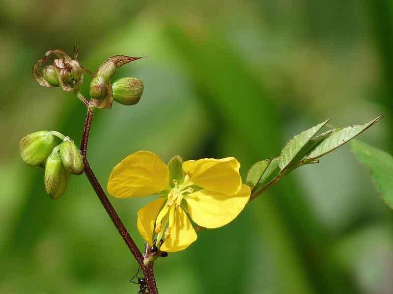 عکس گیاه سنا