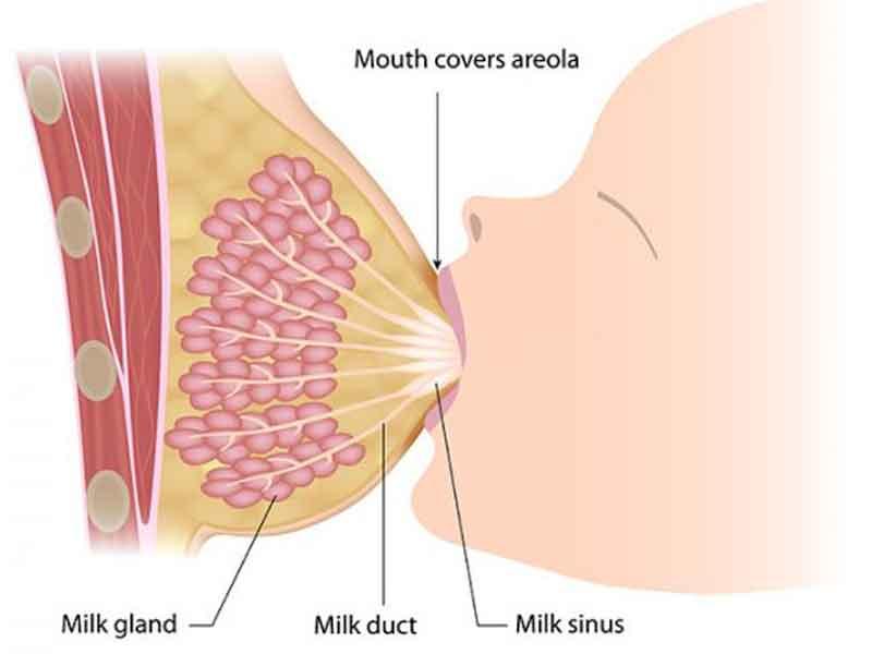 شیر مادر چگونه تولید می شود؟