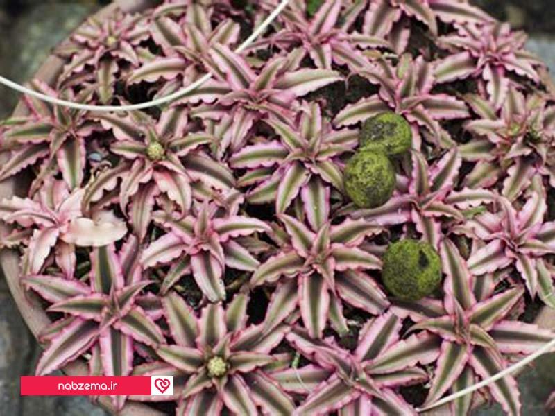 گیاه زینتی کریپتانتوس